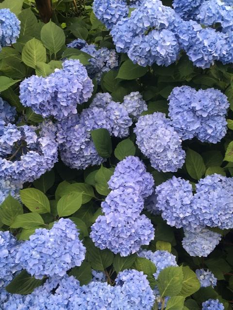 見事な紫陽花!