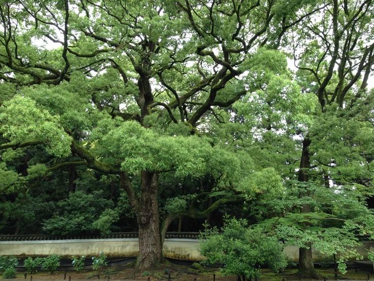 お寺のシンボル「楠」