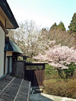 箱根の桜「マメザクラ」