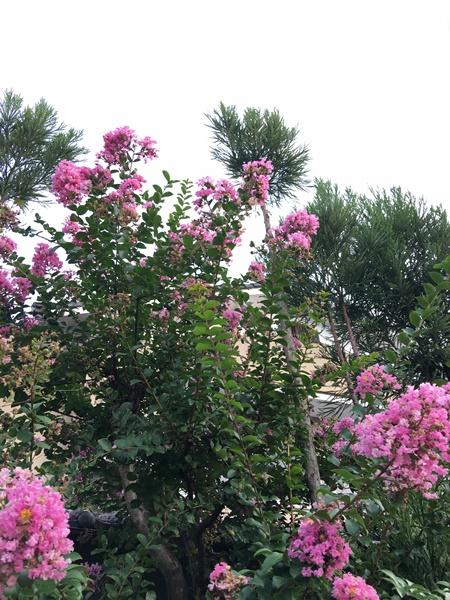 庭の「サルスベリ」