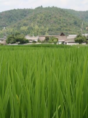 嵯峨の田んぼ